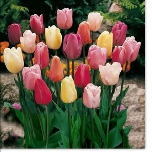 Rainbow Mixed Tulips Bag of 5 Bulbs